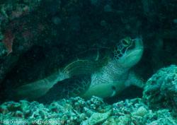 BD-060409-Moalboal--Eretmochelys-imbricata-(Linnaeus.-1766)-[Hawksbill-turtle.-Karettsköldpadda].jpg